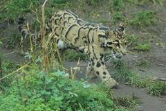 Clouded leopard. The strolling clouded leopard in the grass Stock Image