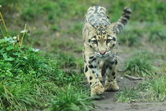 Clouded leopard. The approaching clouded leopard in the grass Royalty Free Stock Image