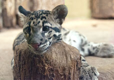 Clouded leopard. The Clouded leopard, close up of face Stock Image