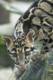 Clouded leopard. The detail of clouded leopard Stock Photography