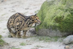 Free Clouded Leopard Royalty Free Stock Photo - 37868845