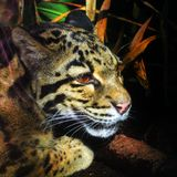 Clouded leopard. This clouded leopard is thinking about something royalty free stock photos