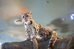 Free Clouded Leopard Royalty Free Stock Image - 77594416