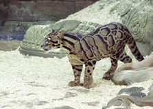 Free Clouded Leopard Stock Photo - 81464750
