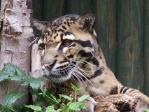 Clouded leopard. Cute Clouded Leopard Watching Us Stock Image