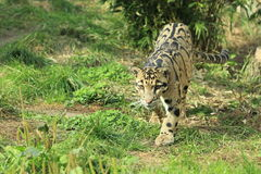 Clouded leopard. The adult clouded leopard in the grass Royalty Free Stock Photo