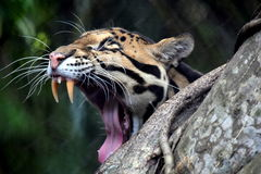 Clouded Leopard. Beautiful Clouded Leopard, Neofelis nebulosa, yawning Royalty Free Stock Photography
