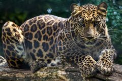 Clouded leopard. Big Clouded leopard on watch stock photos