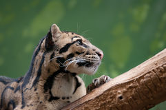 Clouded Leopard chilling on tree , close up stock image