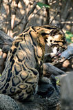 Clouded Leopard Cleaning. Sideview of Clouded Leopard cleaning it's paw on a branch Stock Photos