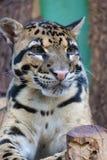 Clouded leopard close up portrait Neofelis nebulosa. Wildlife animal Royalty Free Stock Photo