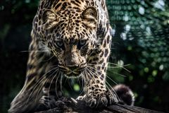 Clouded leopard. Just before the jump stock photos