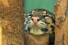 Clouded leopard detail. The detail of sleeping clouded leopard Stock Photography