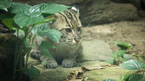Clouded Leopard. Exhibit within the Dusit Zoo royalty free stock image
