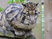 Clouded leopard looking eye to eye royalty free stock photos