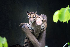Clouded leopard lying on the branch Royalty Free Stock Image