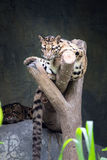 Clouded leopard lying on the branch Royalty Free Stock Photo