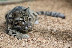 Clouded leopard. Lying on the soil Royalty Free Stock Photo