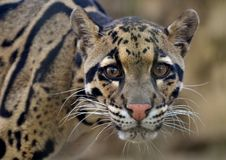 Clouded Leopard (Neofelis nebulosa). A cat native to the mountains of Asia royalty free stock photos