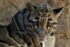 Clouded Leopard Neofelis nebulosa Royalty Free Stock Photography