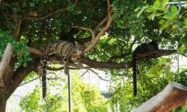 Clouded Leopard Neofelis nebulosa royalty free stock images