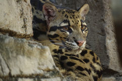 Clouded leopard (Neofelis nebulosa) Stock Photography