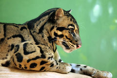 Clouded leopard (Neofelis nebulosa) Stock Images