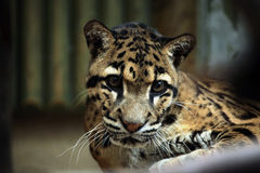 Clouded leopard (Neofelis nebulosa). Stock Photos