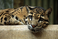 Clouded leopard (Neofelis nebulosa). Stock Photography