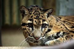 Clouded leopard (Neofelis nebulosa). Royalty Free Stock Photography