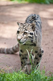 Clouded leopard Neofelis Nebulova big cat portrait Stock Image