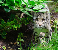 Clouded leopard Neofelis Nebulova big cat portrait Royalty Free Stock Image