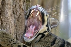 Free Clouded Leopard Portrait Royalty Free Stock Photography - 123379397