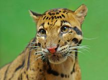 Clouded leopard. Portrait of clouded leopard against green background Royalty Free Stock Photo