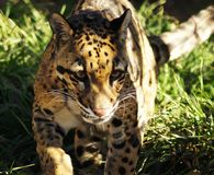 Clouded Leopard Royalty Free Stock Photography