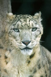 Clouded Leopard Portrait Stock Image