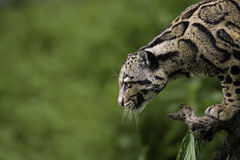 Clouded Leopard. Profile at Sikkim India Stock Image