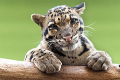 A Clouded leopard. Resting atop a tree trunk Stock Photos