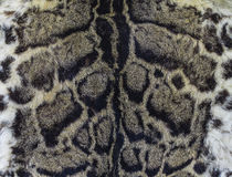 Clouded leopard skin (Felis nebulosa) Stock Images