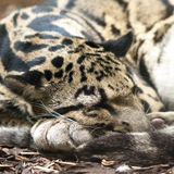 Clouded leopard. A clouded leopard sleeping on the ground Royalty Free Stock Photos