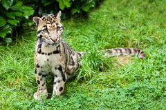 Clouded Leopard Stitting on Grass Pensive Stock Photo