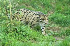 Clouded leopard. The clouded leopard strolling in the grass Royalty Free Stock Images