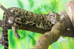 Clouded leopard on a tree. Clouded leopard Neofelis nebulosa is on a tree royalty free stock photography