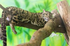Clouded leopard on a tree. Clouded leopard Neofelis nebulosa is on a tree stock image
