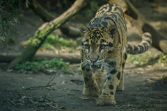 Clouded leopard is walking towards from the shadows to the light Royalty Free Stock Photo