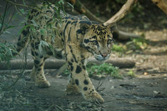 Clouded leopard is walking towards from the shadows to the light Royalty Free Stock Images