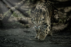 Clouded leopard is walking towards from the shadows to the light Royalty Free Stock Photos