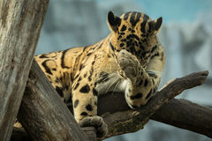 Clouded leopard is walking towards from the shadows to the light Stock Images