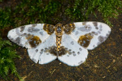 Clouded Magpie Moth (Abraxas Sylvata) Royalty Free Stock Image