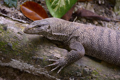 Clouded monitor lizard. Portrait of clouded monitor lizard Stock Photos